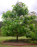 The Catalpa Tree:  More Than Just an Angler's Delight